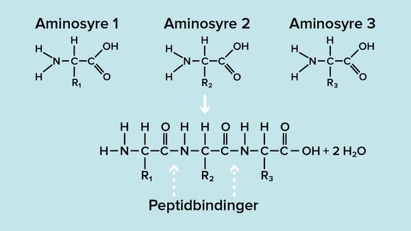 Aminosyre1 2 3