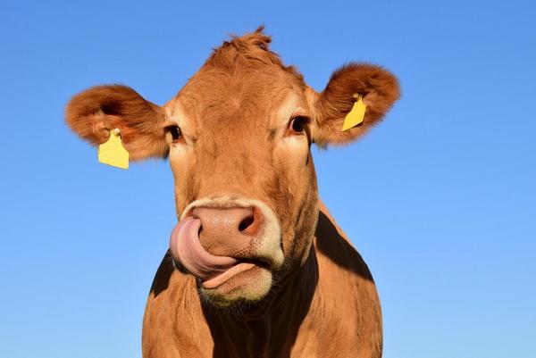 cow 1715829 1920